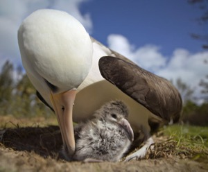 Albatross parent and chick