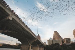 Congress Avenue Bats in Austin