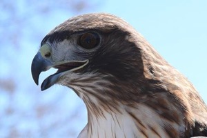 Blackland Prairie Raptor Center red-tailed hawk