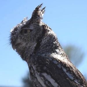 Blackland Prairie Raptor Center screech owl