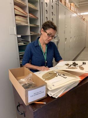 Herbarium manager Tiana Rehman leafs through BRIT's plant specimen collection.
