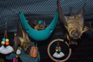 Enrichment at Bat World Sanctuary