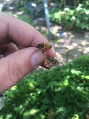 Honey Bee Relocation Services