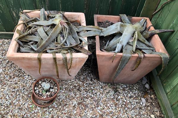 Aloe vera after the freeze