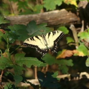 Tiger swallowtail at Dogwood Canyon Audubon Center