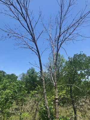 Dead ash tree near Eagle Mountain Lake