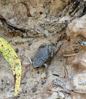 Narrowmouth frog