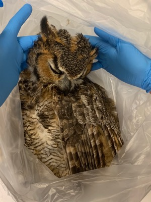 Great horned owl in exam