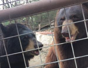 Bears at IEAS