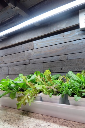 Indoor garden - counter lettuce