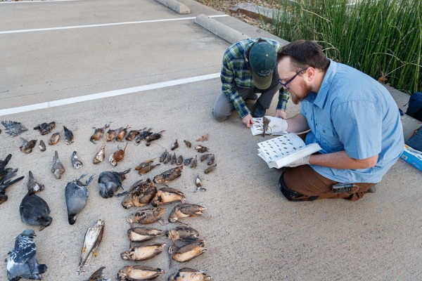 Lights Out Texas volunteers tally birds found in downtown Dallas