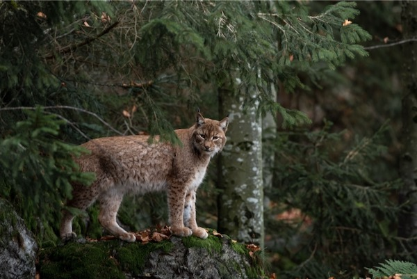 Bobcat near the Sulfur River are under threat from the proposed reservoir.