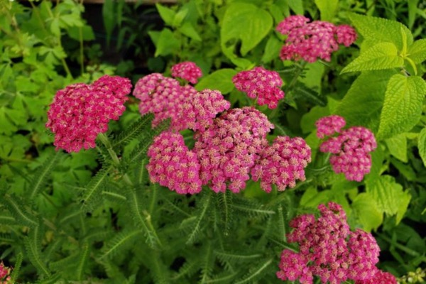Eco Blossom red yarrow