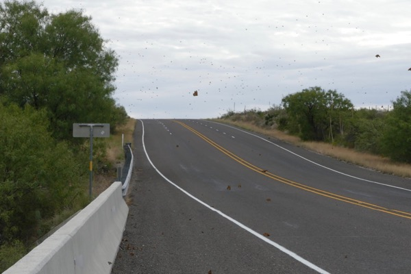 monarchs on highway