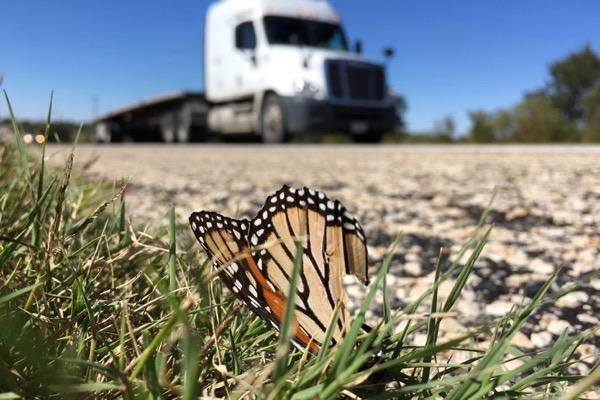 Dead monarch on Hwy 90 in west Texas
