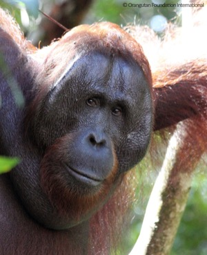 Orangutan elder