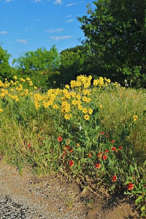 Wildflowers in bloom in May at Palo Pinto Mountains S.P.