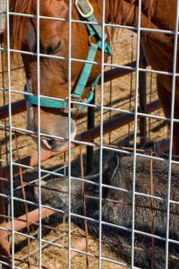 Atlasta Home Sanctuary Horse & Pig