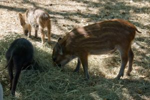 Atlasta Home Sanctuary Piglets
