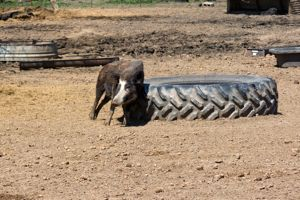 Atlasta Home Sanctuary Pig & Tire