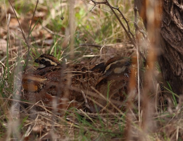 Quail released at LLELA