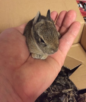 North Texas Wild: Dallas rehabber says wild rabbit rescues