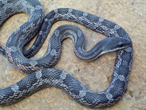 Western rat snake