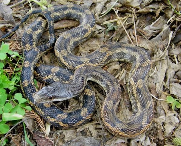 Female adult rat snake