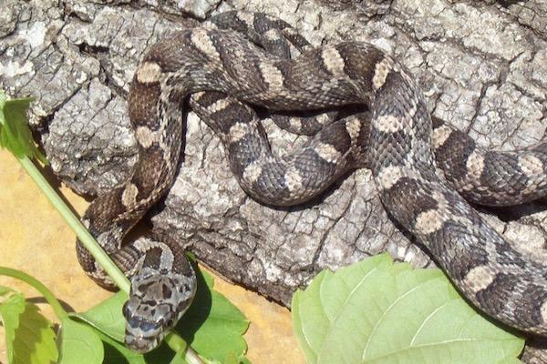 Juvenile rat snake