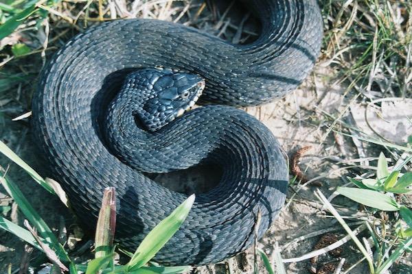 Plain belled water snake