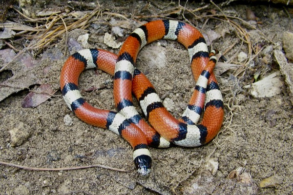 LA milk snake