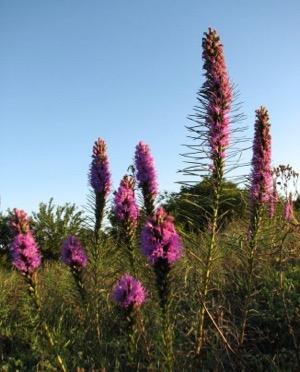 Spring Creek Forest Preserve liatris