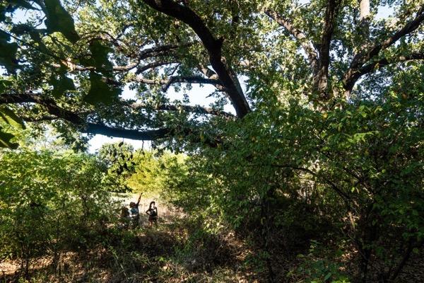 Caddo Oak at SWNP