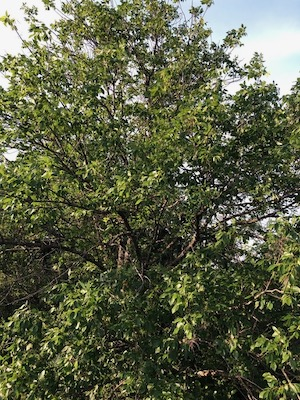 Texas native ash tree at Tandy Hills Natural Area