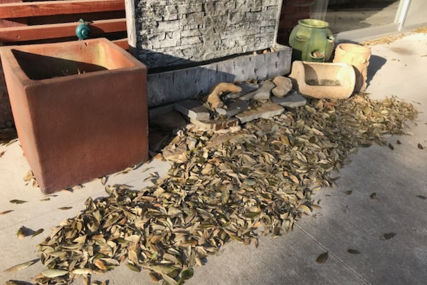 Live oak leaves that have been shedded
