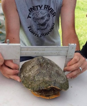 Trinity River turtle survey