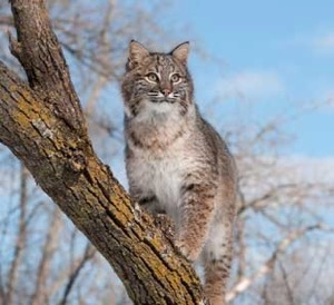 Texas Native Cats: Bobcat