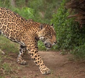 Texas Native Cats: Jaguars
