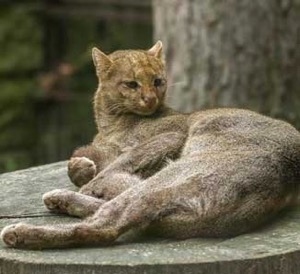 Texas Native Cats: Jaguarundi