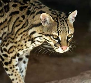 Texas Native Cats: Ocelots