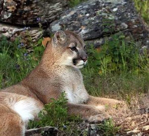 Texas Native Cats: Mountain Lion