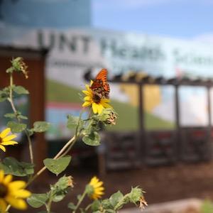 UNTHSC Community Garden monarch