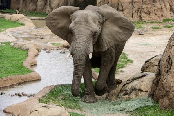 Zola the elephant at Dallas Zoo