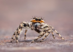 Jumping spider by Tracy Fandre