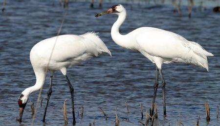 Hagerman Whooping Cranes