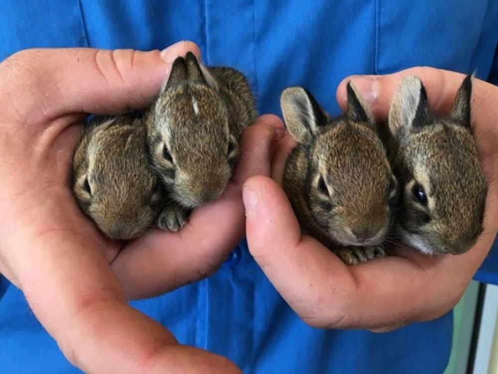 North Texas Wild: Dallas rehabber says wild rabbit rescues