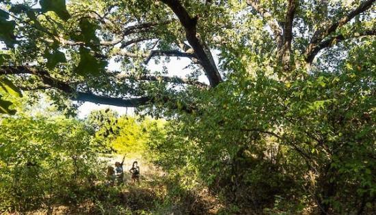 Caddo oak tree